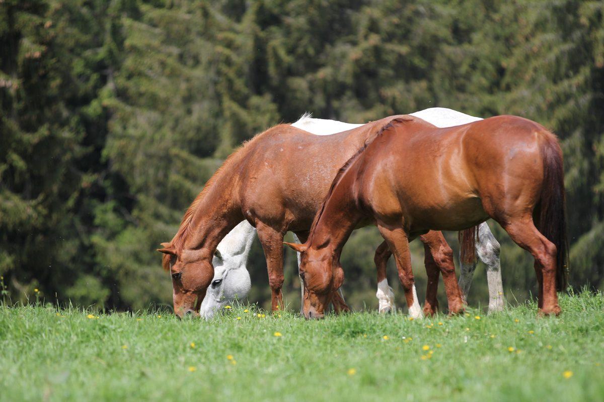 Pferde auf der Pferdeweide Villiger