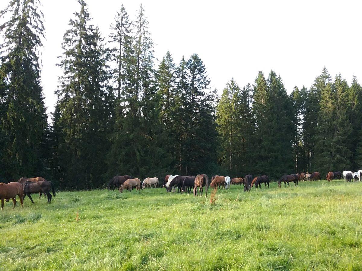 Pferdeherde unter Juratannen