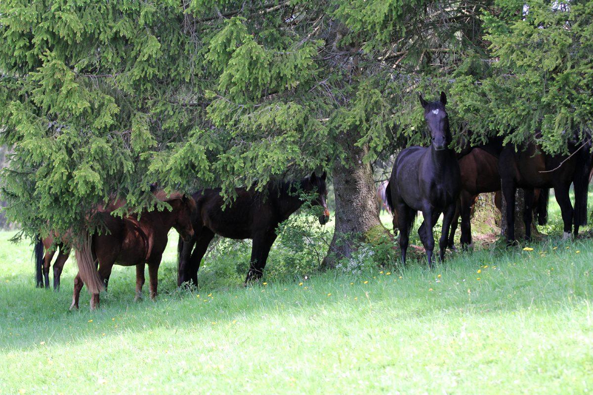 Pferde im Schuzt der grossen Juratannen