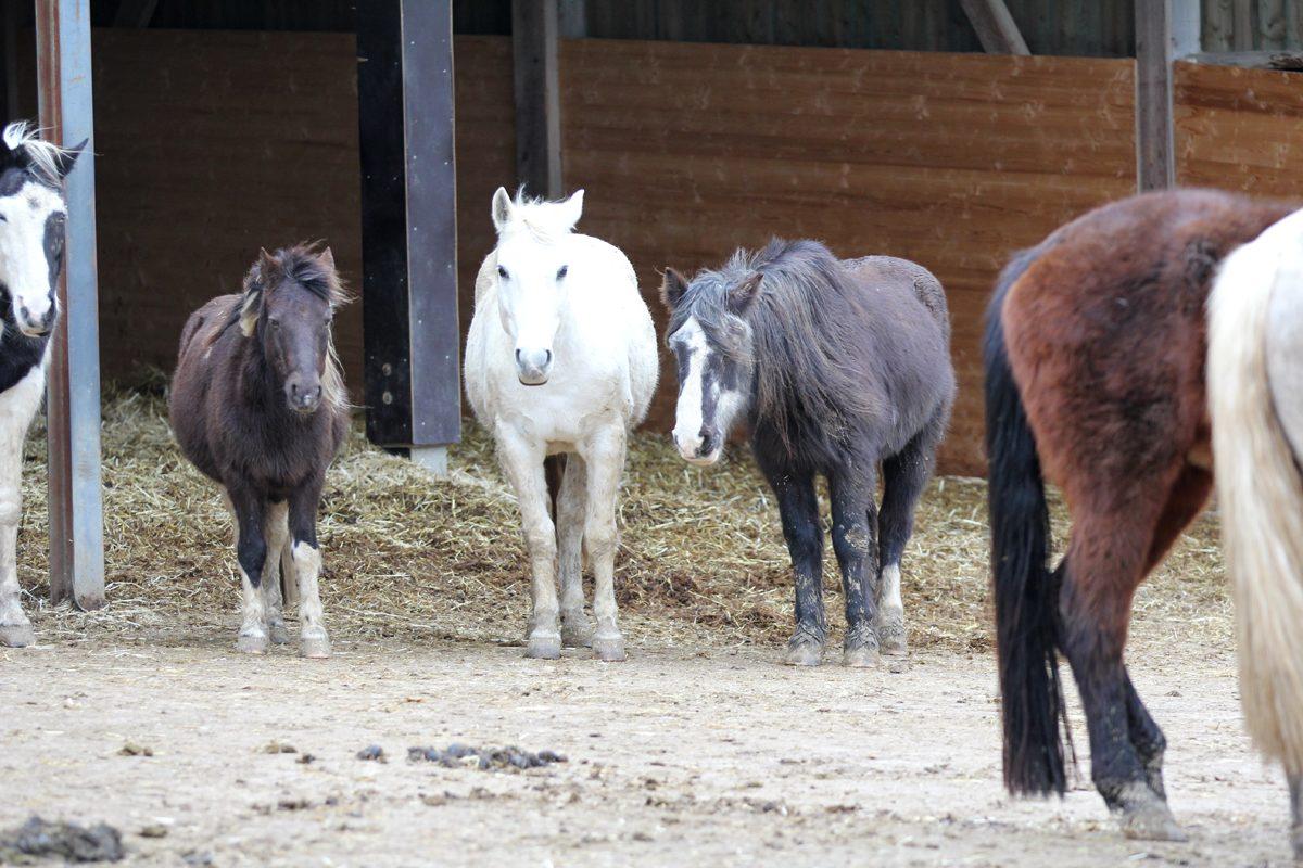 Alte Pferde auf der Pferdeweide Villiger
