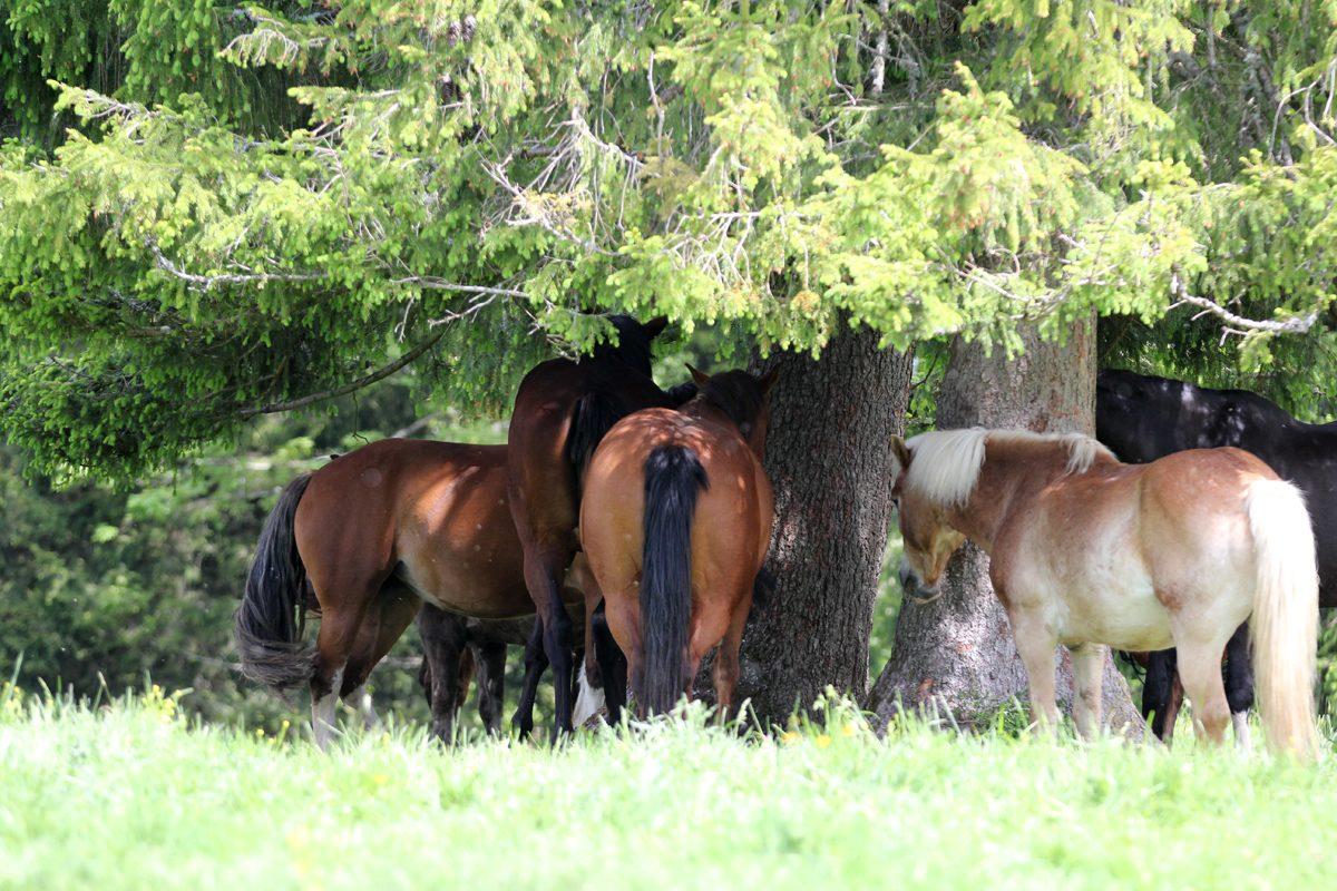 Pferdeherde auf der Pferdeweide Villiger