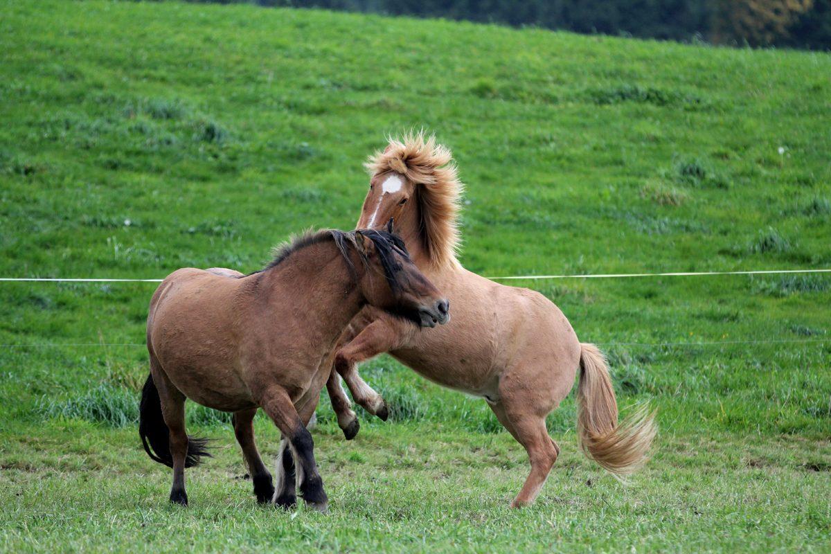 Spielende Pferde auf der Pferdeweide Villiger