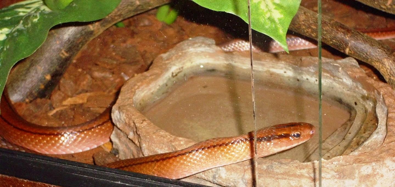 Oreocryptophis P Vaillanti Chinesische Bambusnatter Natternwelt