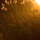 Maisfeld in der Morgensonne!